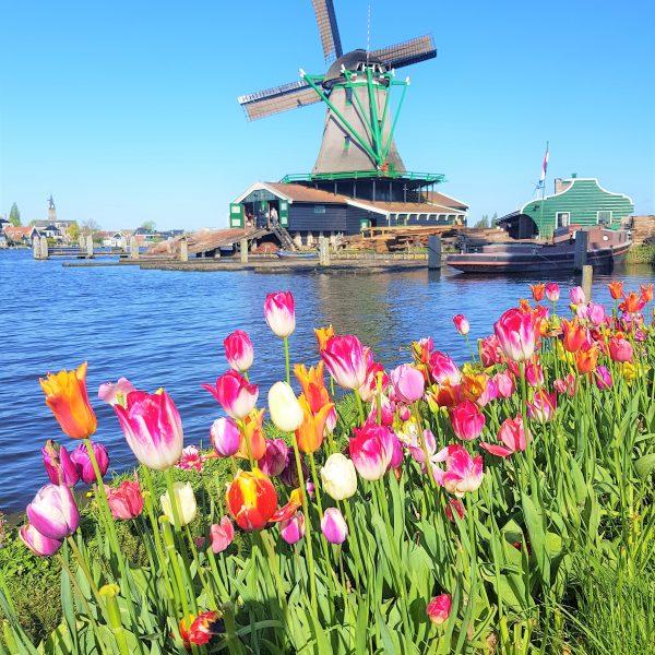 Tulips and windmills in the Zaanse Schans