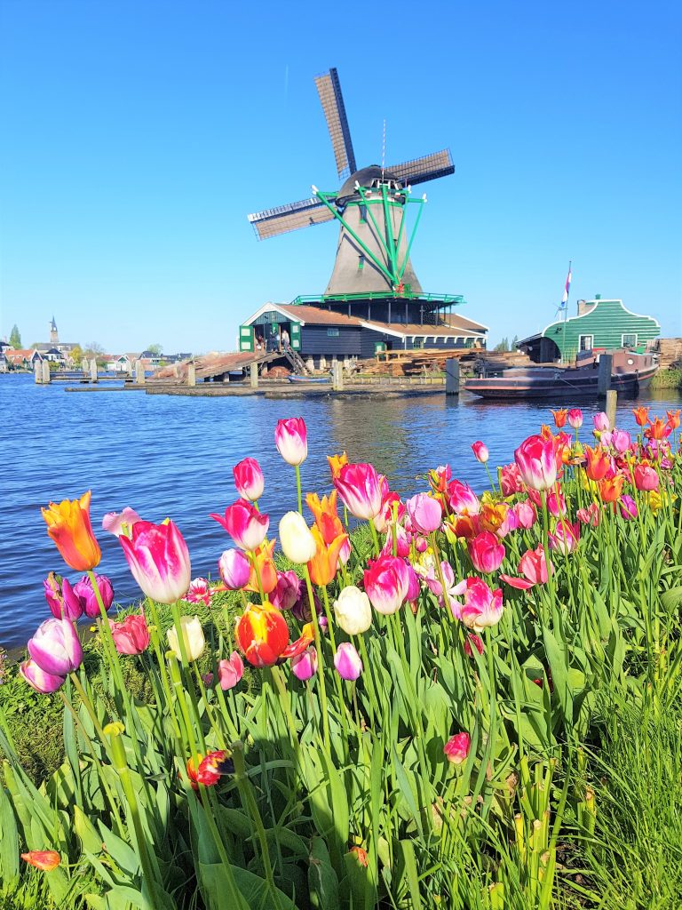 Tulips and windmills in the Zaanse Schans